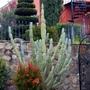 Plantings (Russelia equisetiformis)