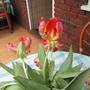 Parrot Tulip (Tulip)