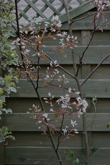 Amelanchier blossom...... (Amelanchier canadensis (Shadbush))
