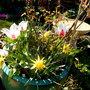 Tulips, Daffs and Hilda Ogden Rose
