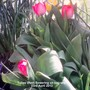 Tulips Red flowering on balcony 23-04-2013 (Tulipa polychroma)