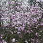 Magnolia 'Leonard Messel'