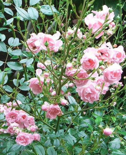 Rosa 'The Fairy' (Rosa 'The Fairy')