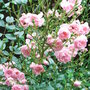 Rosa &#x27;The Fairy&#x27; (Rosa &#x27;The Fairy&#x27;)
