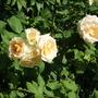 sisters roses