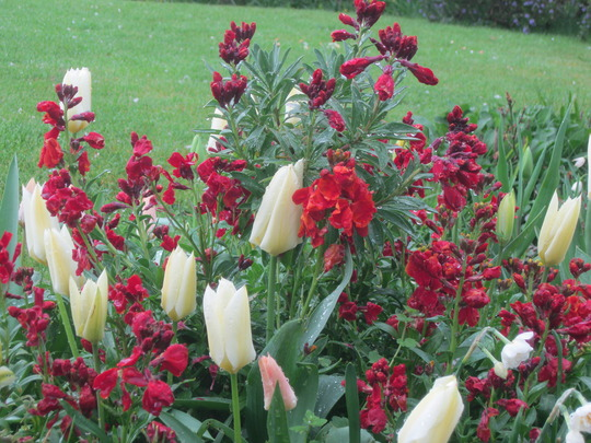 Wallflowers and tulips after the rain.