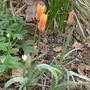 Tulipa clusiana - 2014 (Tulipa clusiana)