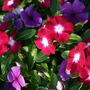Periwinkles Flower