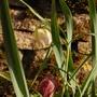 Fritillaria meleagris (Fritillaria meleagris (Snake's head fritillary))