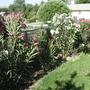 Mothers Oleander