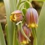 Fritillaria uva vulpis (Fritillaria uva-vulpis (Foxs Grape))