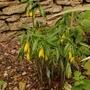 Uvularia grandiflora (Uvularia grandiflora (Large merrybells))