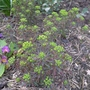 Euphorbia_cyparissias_fen_s_ruby_2014