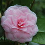 Camellia from Angie Homer in Cornwall.