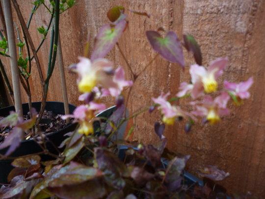 In flower.... so dainty.Sorry it's a bit blurred!