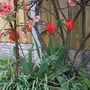Tulips_140404_under_quince_2_
