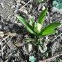 Hyacinth_140308