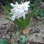 Hyacinth_140319