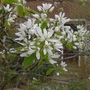 Amelanchier_lamarckii_ballerina_close_up_2014
