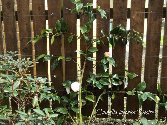 Espaliered Camellia   (Camelli japonica 'Desire')
