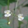 flower of Balloon vine (fuusenkazura)