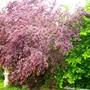 Prunus and hazelnut trees