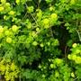 Viburnum_opulus_roseum_