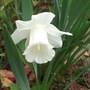 Narcissus triandrus (Angels Tears) Thalia (Narcissus triandrus (Angels Tears))
