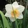 Narcissi 'Mount Hood' (Narcissus)