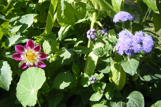 Dahlia and Ageratum