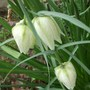 Fritillaria meleagris (white) great to see again as has not flowered since 2010.