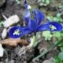 Blue_dainty_140401_1_