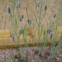 Fritillaria elwesii - 2014 (Fritillaria elwesii)