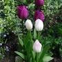 Cimg0020shirley_tulip