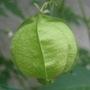 """""""balloon"""" of Balloon vine"""