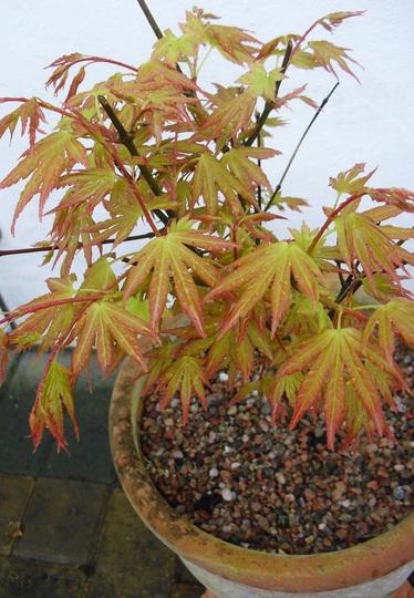 Acer palmatum 'Orange Dream'  ...  for Karen (Acer palmatum (Japanese maple))