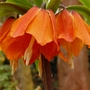 Fritillaria imperalis (Fritillaria imperalis (Crown imperial))