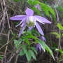Clematis_alpina_frances_rivis_close_up_2014