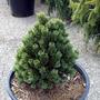 Pinus aristata 'Sherwood Compact' (Pinus aristata (Bristle Cone Pine))
