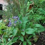 Fennel bronze and Borage.... (Foeniculum vulgare (Bronze fennel))