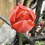 Tulips_140406_5_a