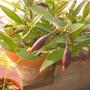 Dendrobium kingianum - Rock Orchid (Dendrobium kingianum - Rock Orchid)
