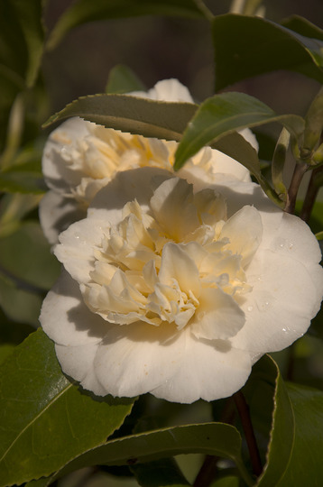 Camellia japonica 'Brushfield's Yellow' (Camellia japonica (Camellia))