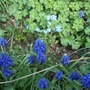 Forget_me_not_140409_2_