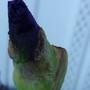 Dark Purple Bearded Iris (Iris germanica (Orris))