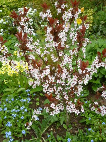 'Cherry plum' for Annella (and Alanb!) (Cornus controversa Variegata)