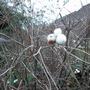 Snowberry_18_140115_3_
