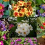 A Collage of Primulas 2014