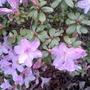 Dwarf Rhododendron 'Sprite'