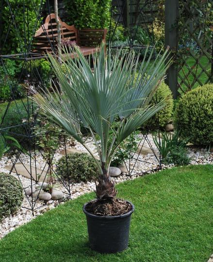 Our new baby...Brahea  armata.... (Brahea armata (Blue Hesper Palm))